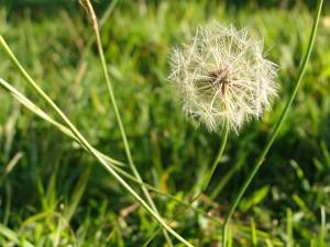 weed-dandelion-pixabay